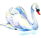 Swan. Swan Watercolor drawing Stock Image