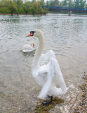 Swan. S are birds of the family Anatidae within the genus Cygnus. The s' close relatives include the geese and ducks. s are grouped with the closely related Royalty Free Stock Images