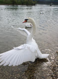 Swan. S are birds of the family Anatidae within the genus Cygnus. The s' close relatives include the geese and ducks. s are grouped with the closely related Royalty Free Stock Image