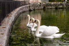 Swan, Swans, Cygnus, Anatidi, White Stock Photo