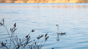 Swan swim in the blue river. Winter time stock photos