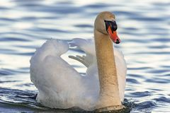 Swan Swiming in the Lake stock images