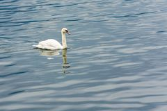 Swan swiming. In a lake Royalty Free Stock Image