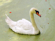 Swan swimming Royalty Free Stock Photo