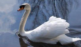 Swan swimming Royalty Free Stock Photos