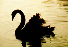 Swan swimming. Black swan swimming in the pool in the evening at Pang Oung,Mae Hong Son Thailand stock photos
