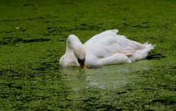 Swan Swimming Through Algae While Eating. A large swan swimming through a river covered in algae while eating royalty free stock image