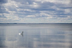 Swan swimming alone in calm water Stock Images