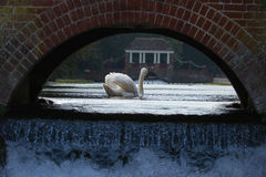 Swan swimming through an arch Stock Image