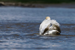 Swan swimming away Royalty Free Stock Photography
