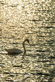 Swan swimming in the Baltic Sea Royalty Free Stock Images