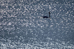 Swan swimming in the Baltic Sea Stock Photography