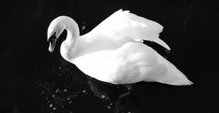 Swan. Swimming swan black and white photo Royalty Free Stock Images