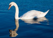 Swan swimming in a clear blue lake Stock Photography