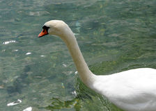 Swan swimming in clear water Stock Images
