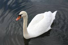Swan swimming and creating ripples. Single swan swimming and creating ripples around Royalty Free Stock Photos