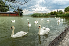 Swan swimming with ducks Royalty Free Stock Photo