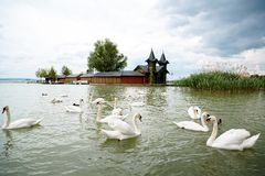 Swan swimming with ducks Royalty Free Stock Photos