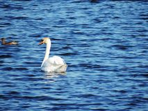 Swan is swimming in Estonia river Royalty Free Stock Images
