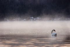 Swan Swimming into the Fog. In the early morning Stock Image