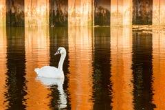 Free Swan Swimming In Raritan Bay Stock Images - 184752354