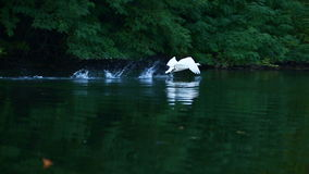 Swan. Swimming on a lake stock footage