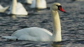 A Swan Swimming in a Lake stock video