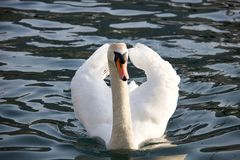 Swan swimming in the lake with a beautiful white plumage stock photos