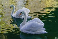 Swan swimming on a lake. Countryside landscape royalty free stock photo