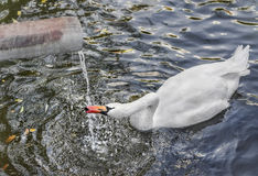 Swan swimming in the lake and drinking water flowing from the pipe. Stock Images