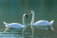 Swan swimming in the lake Stock Images
