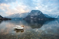 A Swan in the lake of Hallstatt Austria stock image