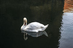 Swan. A swan swimming in a lake and its reflection in the lake Stock Photo