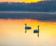 Swan swimming in lake in morning light stock photo