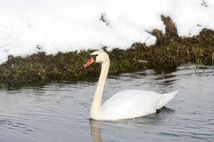 Swan swimming in lake Stock Images