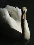 Swan swimming in lake Royalty Free Stock Image