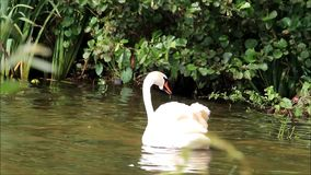 Swan swimming in lake stock video footage