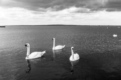 Swan swimming on lake Stock Photo