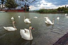 Swan swimming on lake Royalty Free Stock Photo