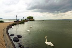 Swan swimming on lake Royalty Free Stock Photos