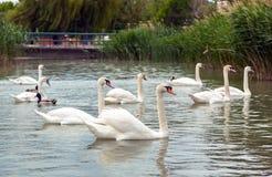 Swan swimming on lake Stock Image