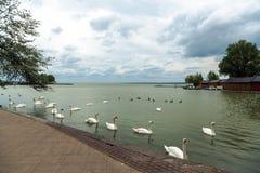 Swan swimming on lake Stock Photos