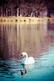 Swan swimming in the lake at sunset Royalty Free Stock Images