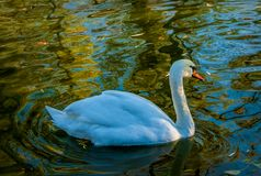 Swan swimming on a lake. Countryside landscape royalty free stock images