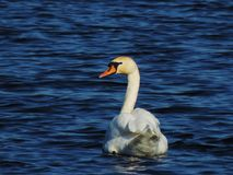 Swan is swimming in a lake Royalty Free Stock Images