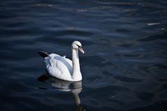 A Swan swimming on a lake. With it`s reflection in the water stock photos