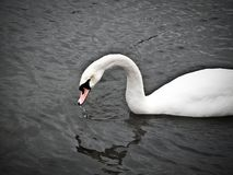 A Swan swimming on a lake. With it`s reflection in the water stock photo