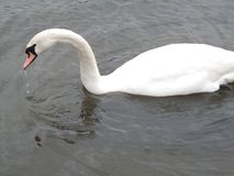 A Swan swimming on a lake. With it`s reflection in the water royalty free stock photos
