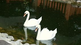 Swan swimming in the lake Ukraine. Swan swimming in the lake, Ukraine stock video footage