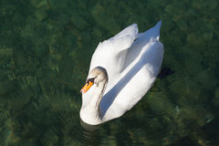 Swan swimming in lake water Stock Image